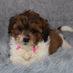 Shihpoo Puppy For Sale – Rolli, Male – Deposit Only