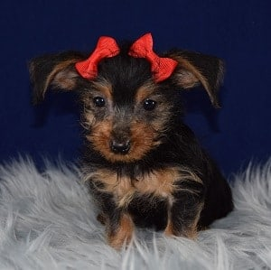 Shimmer Dorkie puppy for sale in NY