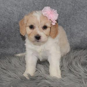 Cavachon Puppy For Sale – Starla, Female – Deposit Only
