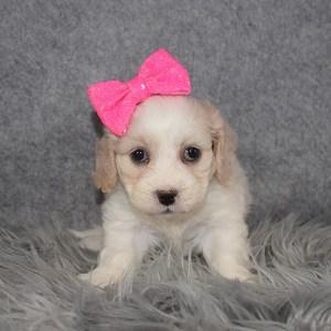 Cavachon Puppy For Sale – Stella, Female – Deposit Only