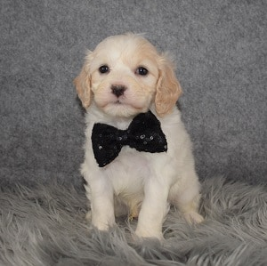 Cavachon Puppy For Sale – Stevie, Male – Deposit Only