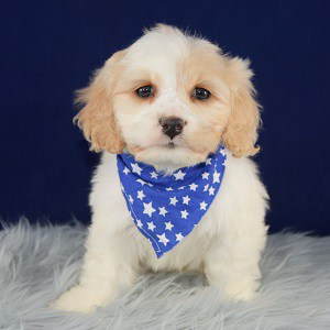Travis Cavachon puppy for sale in DC