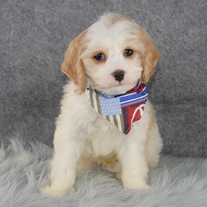 Trevor Cavachon puppy for sale in CT