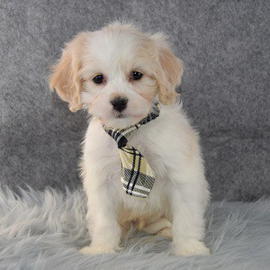 Trey Cavachon puppy for sale in PA