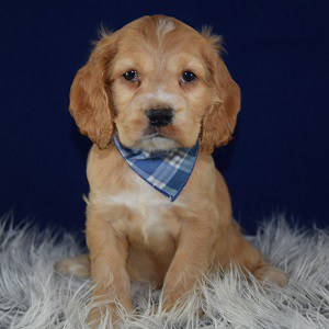 yale cocker puppy for sale in NY