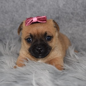 Jug Puppy For Sale – Yelena, Female – Deposit Only