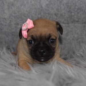 Jug Puppy For Sale – Yenera, Female – Deposit Only
