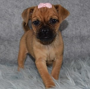 Zuzu Jug puppy for sale in RI
