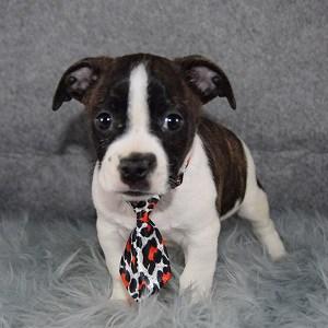 BoJack Puppy For Sale – Alek, Male – Deposit Only