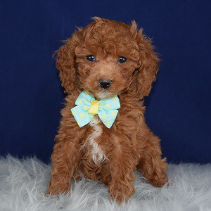 Poodle Puppy For Sale – Amadeus, Male – Deposit Only