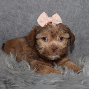 Shorkie Puppy For Sale – Bebe, Female – Deposit Only