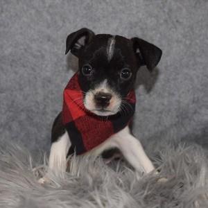 BoJack Puppy For Sale – Berlin, Male – Deposit Only