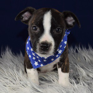 Male Bojack Puppy For Sale Bennett Puppies For Sale In Pa Nj Ny Ri Dc