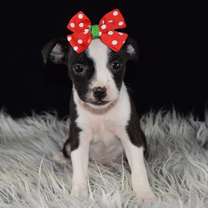 BoJack puppy for sale in NY