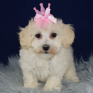 Cheyenne Bichonpoo puppy for sale in MD