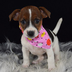 Dharma Jack Russell Terrier puppy for sale in NY