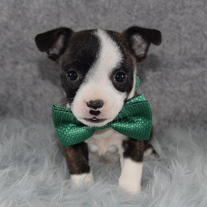 BoJack Puppy For Sale – Dr. Pepper, Male – Deposit Only