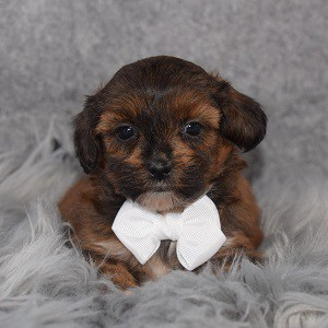 Shihpoo Puppy For Sale – Everett, Male – Deposit Only