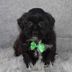 Shihpoo Puppy For Sale – Falcon, Male – Deposit Only