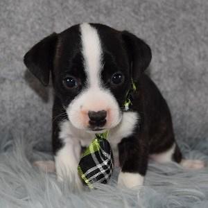 Ferrari BoJack puppy for sale in DE