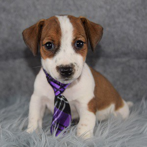 Jack Russell Puppy For Sale – Field, Male – Deposit Only
