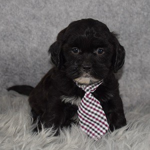 Shihpoo Puppy For Sale – Finley, Male – Deposit Only