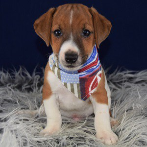 Jack Russell puppy for sale in RI