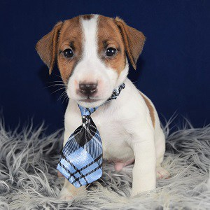 Jack Russell puppy for sale in PA