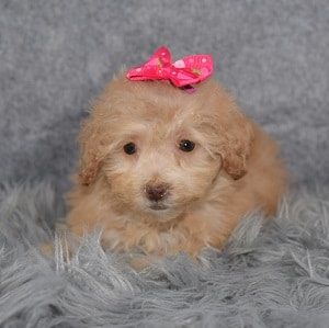 Poodle Puppy For Sale – Joanie, Female – Deposit Only