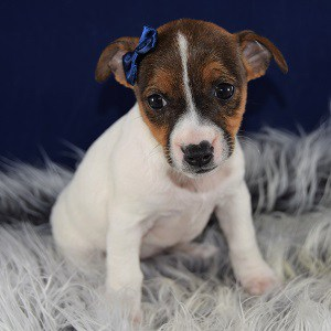 Karma Jack Russell Terrier puppy for sale in WV