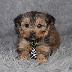 Shorkie Puppy For Sale – Lyric, Male – Deposit Only