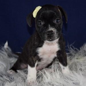 Female Bojack Puppy For Sale Magenta Puppies For Sale In Pa Nj Ma Ri