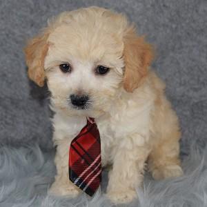 McLellan Bichonpoo puppy for sale in DE