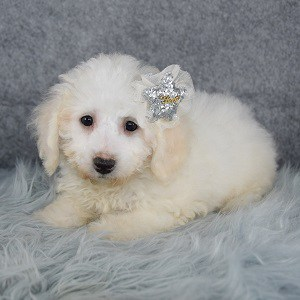 Bichonpoo Puppy For Sale – Nala, Female – Deposit Only