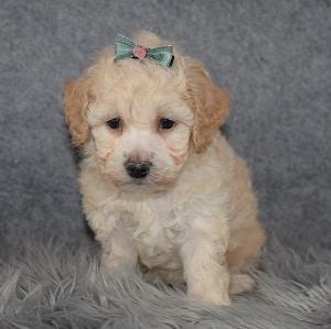 Bichonpoo Puppy For Sale – Nova, Female – Deposit Only
