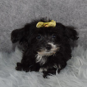 Yorkiepoo Puppy For Sale – Paquita, Female – Deposit Only