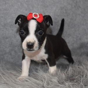 BoJack Puppy For Sale – Paris, Female – Deposit Only