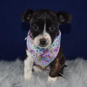 BoJack Puppy For Sale – Pepsi, Female – Deposit Only