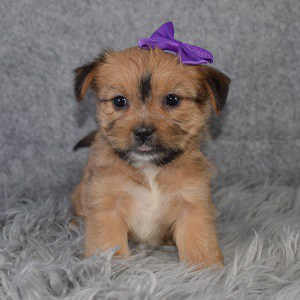 Shorkie Puppy For Adoption – Poem, Female – Deposit Only