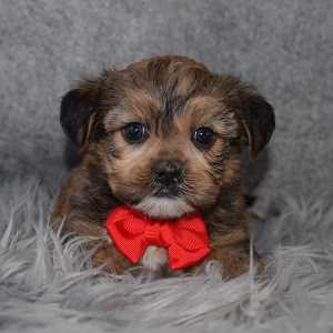 Shorkie Puppy For Sale – Razzy, Male – Deposit Only
