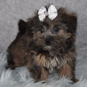 Sheridan Shorkie puppy for sale in MA