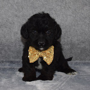 Yorkiepoo Puppy For Sale – Snuggles, Male – Deposit Only