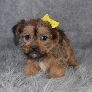 Shorkie Puppy For Sale – Song, Female – Deposit Only