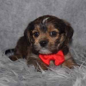 Shorkie Puppy For Sale – Sully, Male – Deposit Only
