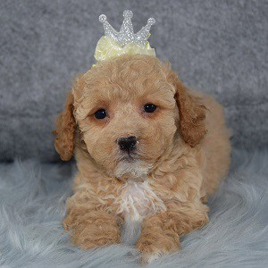Sylvana Bichonpoo puppy for sale in WV