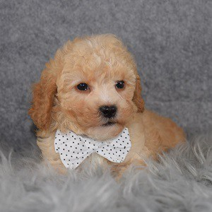 Poodle Puppy For Sale – Toast, Male – Deposit Only