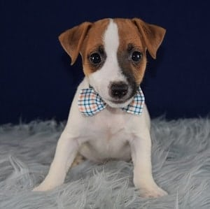 Wobble Jack Russell puppy for sale in MD