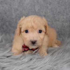 Bichonpoo Puppy For Sale – Zaiden, Male – Deposit Only