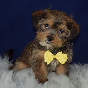 Shorkie Puppy For Sale – Zane, Male – Deposit Only