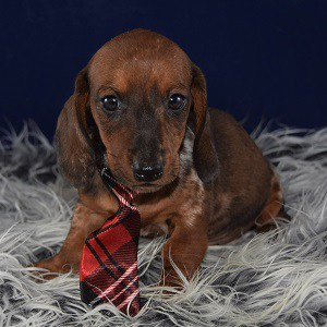 Dachshund puppy for sale in CT